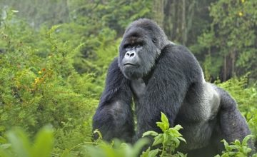 8 Days Uganda Tour, Gorilla Trekking, Chimpanzee Tracking, Wildlife Viewing Tour