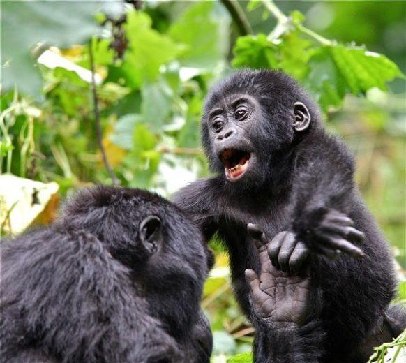 Rwanda Gorilla Safari From Kigali