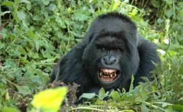 Rwanda Gorilla tracking Adventure 2 Days