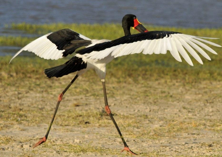 Saddle-billed-Stork