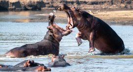 Why Visit Uganda-Hippos