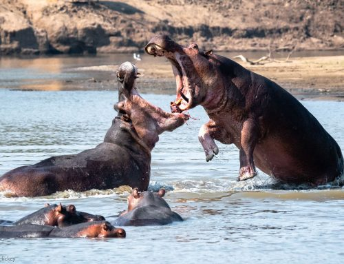 Are Hippos Aggressive? Why are they very Aggressive & Cases