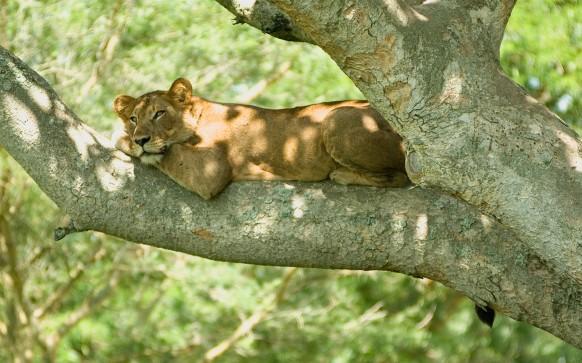 Tree_climbin_lion