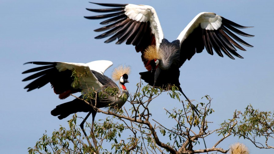Uganda crested crane