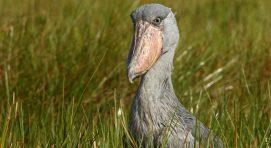 Why Visit Uganda-Shoebill-Stork