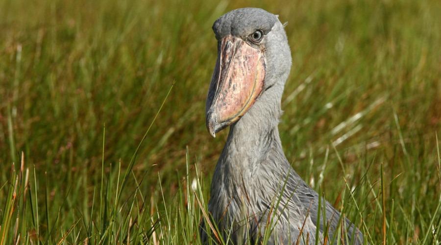 Uganda-Birding-Tour-Shoebill-Stork-Mabamba-Swamp