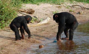 Uganda Safari Tour-Chimpanzees & Wild Life 5 days