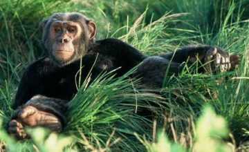 Uganda Safari to Gorillas & Chimpanzee trekking - 10 Days uganda tour