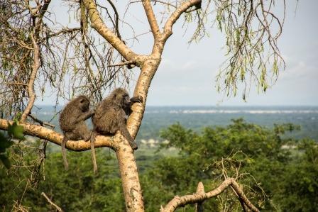 Baboons-Uganda