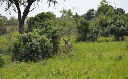 Vegetation Aswa Lolim Game Reserve