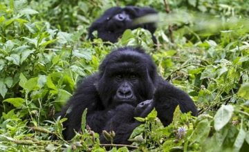 Where-do-Gorillas-live-in-Uganda_600x360-1-360x220