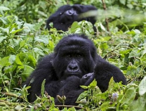 10 Days Scheduled Group Uganda Rwanda Gorilla, Chimpanzee & Wildlife Safari