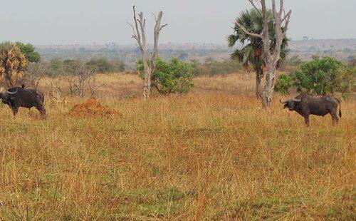 Wildlife in Aswa Lolim wildlife reserve