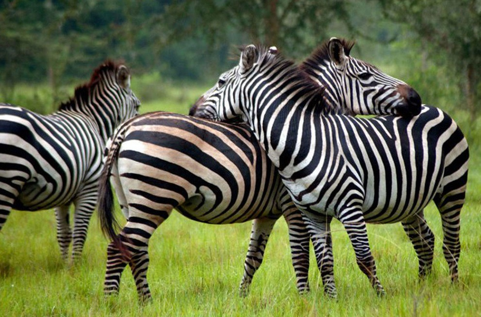Best Places to See Zebras in Uganda – Uganda Safari News