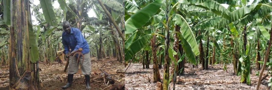 banana-plantations-in-uganda safari