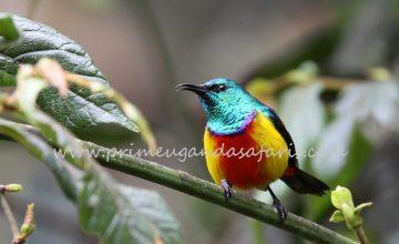 Birding Safaris Uganda