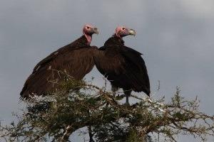 22 Uganda birding safari