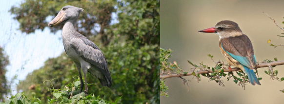 birding-mabamba-uganda