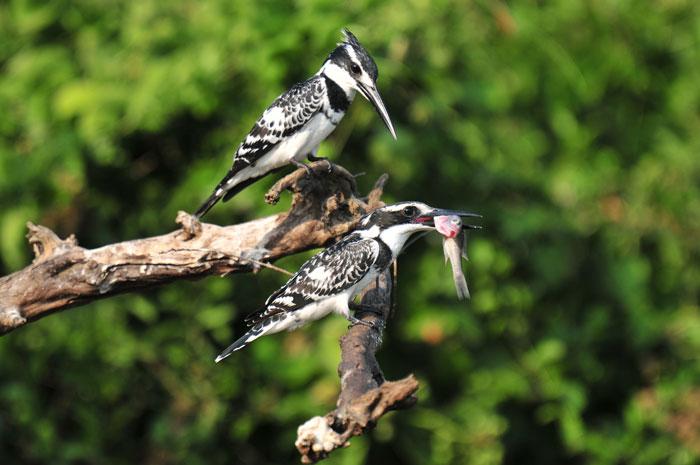 birding , uganda birding safaris