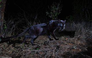 black leopard seen in Kenya