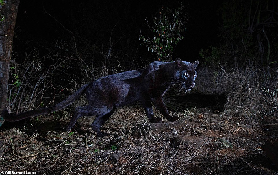 Rare Black Leopard Caught on Camera around Laikipia Wilderness Camp in Kenya