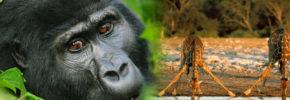 Budget safaris in uganda
