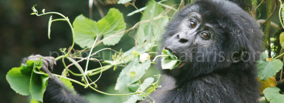 3 Day Gorilla Trekking Uganda Safari in Bwindi