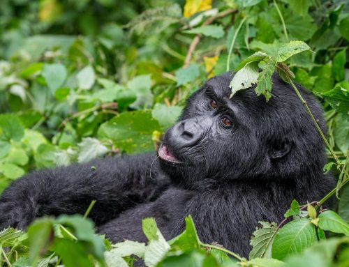 Will Virunga National Park Congo Open Mountain Gorilla Safaris Soon?