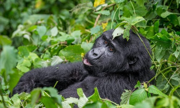 https://www.primeugandasafaris.com/gorilla-safaris/10-days-uganda-gorillas-chimps-tours.html