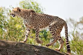 chetah- uganda safaris