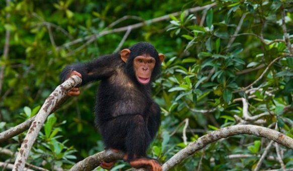 8 Days Uganda Safari, Gorilla Trekking, Chimpanzee Tracking, Uganda Wildlife Safari