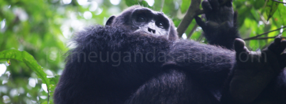 chimpanzee-in-Bigodi