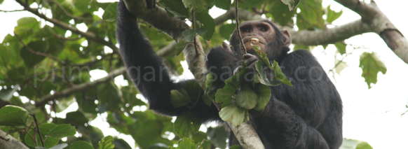 chimpanzee-in-kibale trekking in uganda