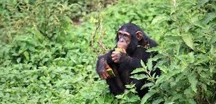 chimpanzee safari tours -uganda