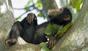 chimpanzee safari in Rwanda