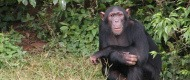 chimpanzee-trekking (1)