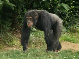 chimp trekking Self Drive safaris in Uganda