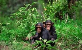 chimpanzee habituation safaris