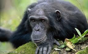 chimpanzee in Nyungwe Forest Rwanda