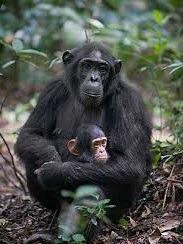 chimpanzee safari attractions