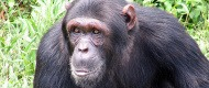 3 Days Chimpanzee Habituation Experience Safari in Kibale Uganda Tour