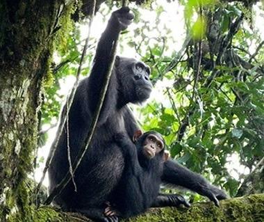 chimpanzees in kibale national park