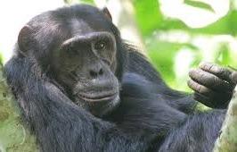 chimpazees