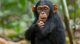 5 Days Uganda Safari Wildlife Game Viewing & Chimp Trekking 4 Days Uganda Tour