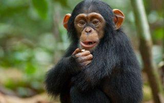 About Chimpanzee trekking /Uganda chimpanzee trekking safaris