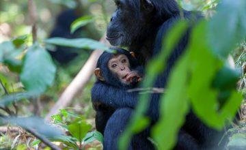 https://www.primeugandasafaris.com/9-days-uganda-wildlife-safari-gorilla-trekking-chimps