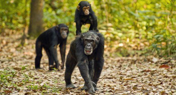 3 Days Chimpanzee Tracking Safari in Rwanda Nyungwe National Park