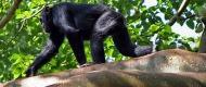 chimps-wildlife