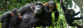chimptrekking-in Kibale