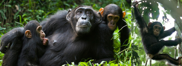 chimptrekking-in Kibale